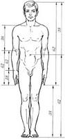 Золотые пропорции в фигуре человека